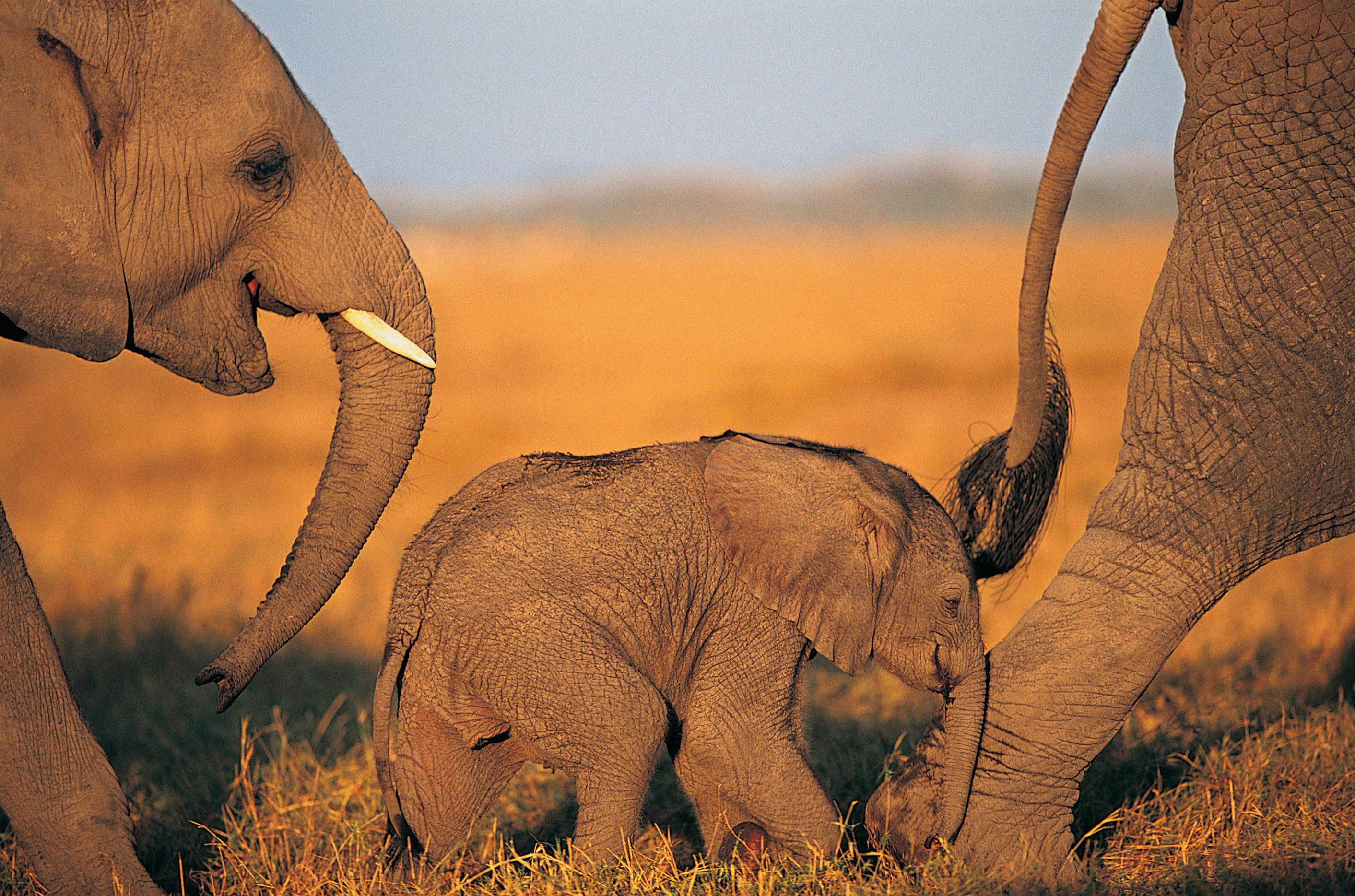 Слон  № 1010724 загрузить