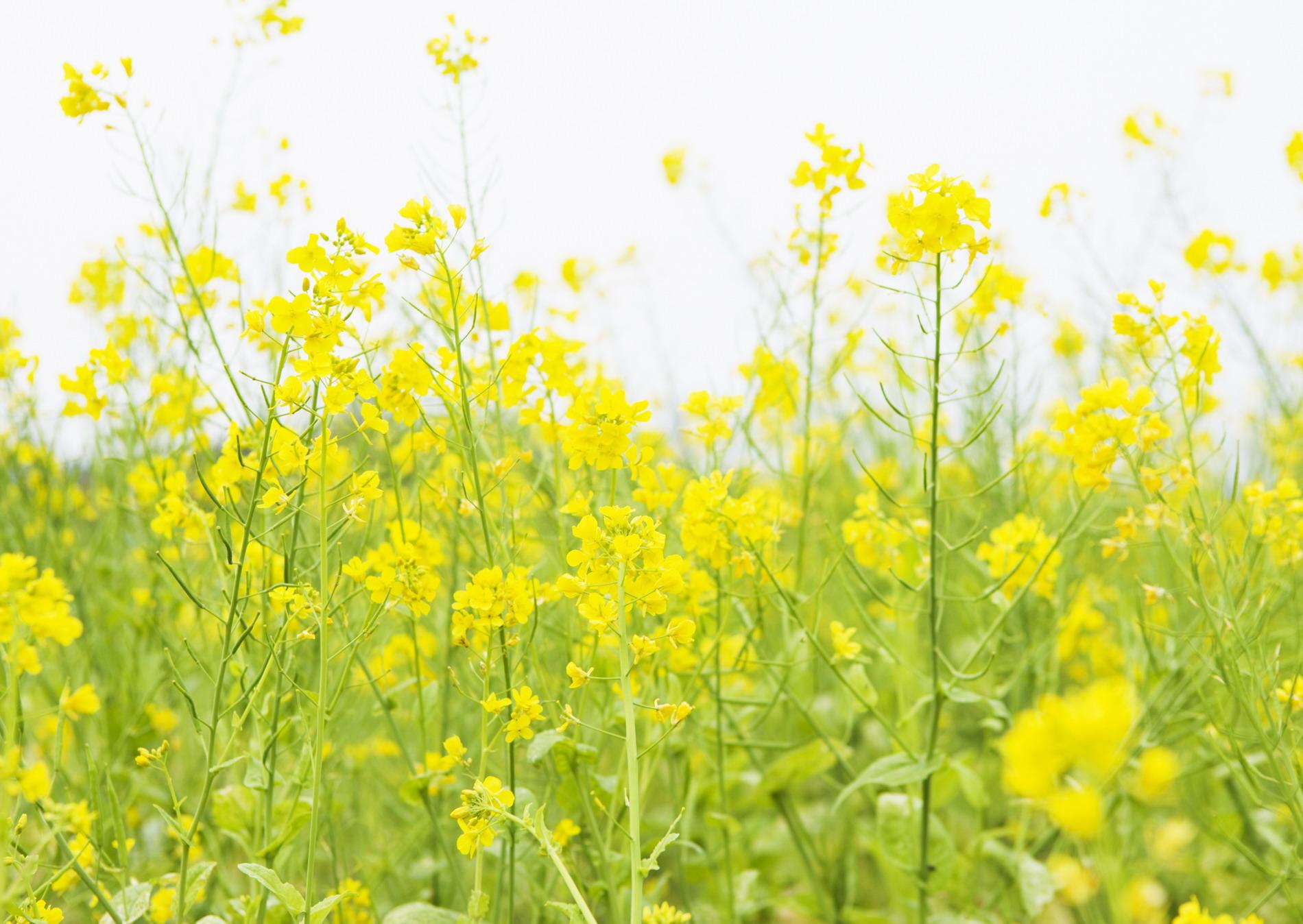 желтые цветы фото с названиями полевые появляется сухость