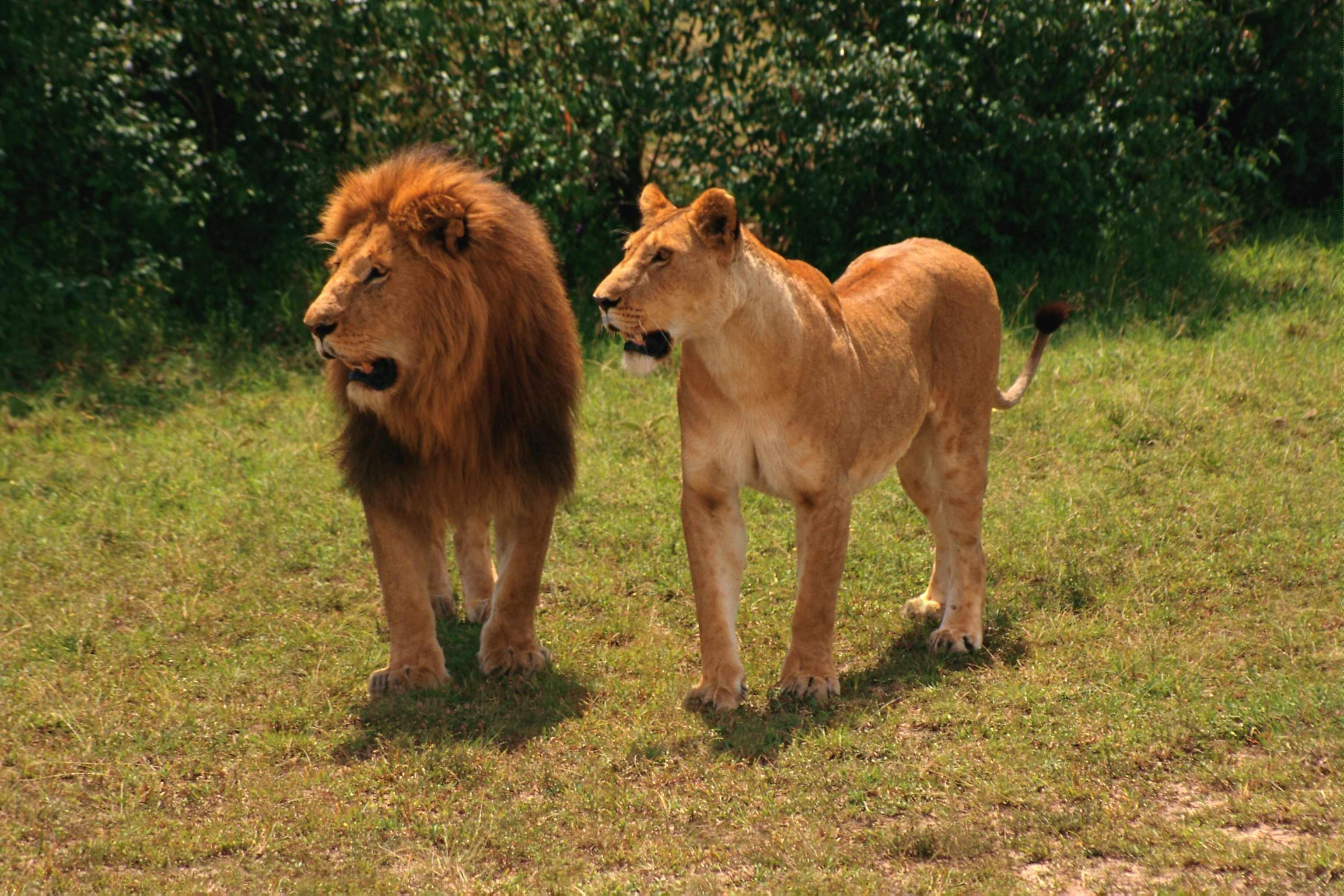 просто львы фото и описание видна