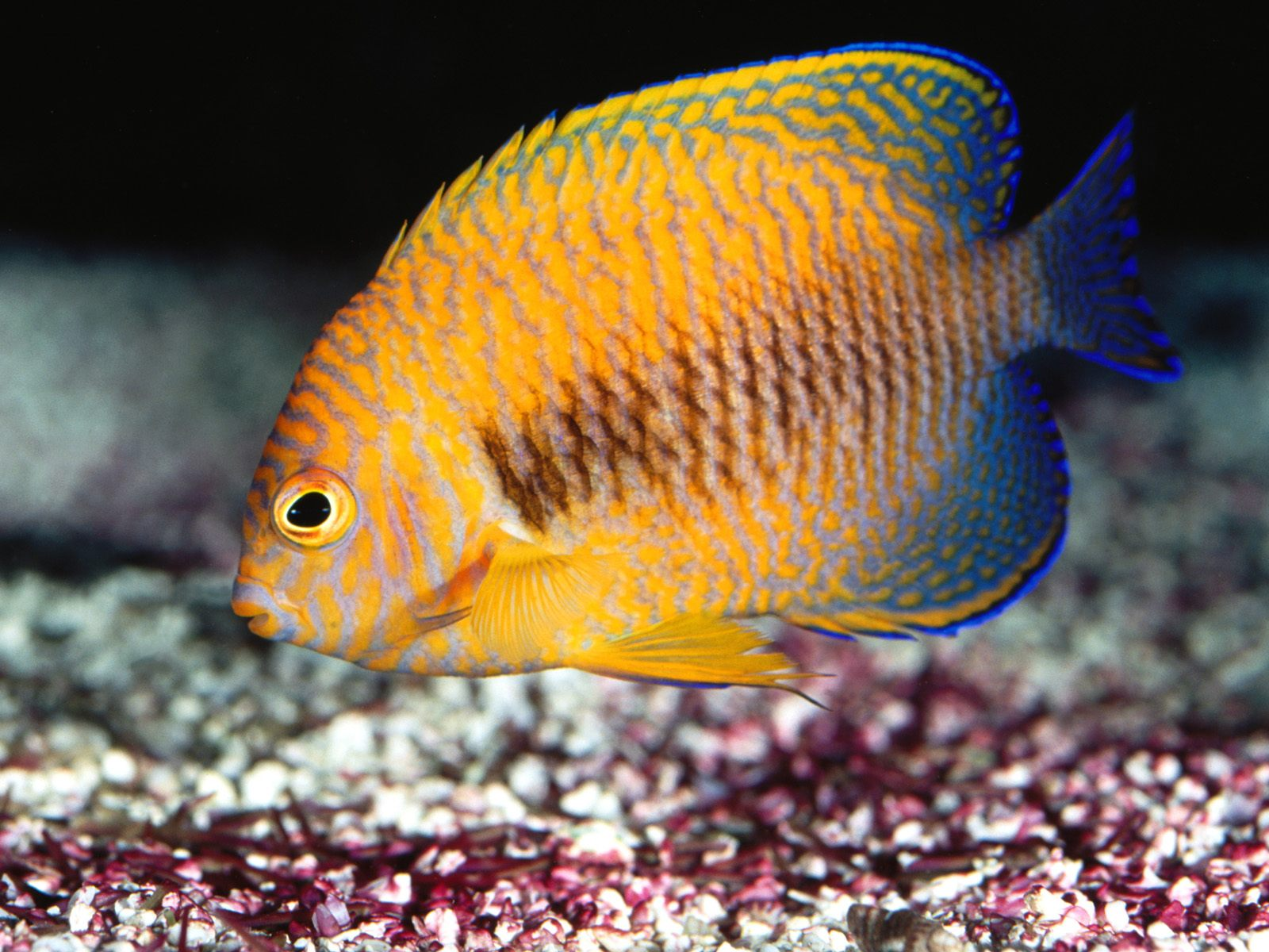 Желтая рыбка  № 1707682  скачать